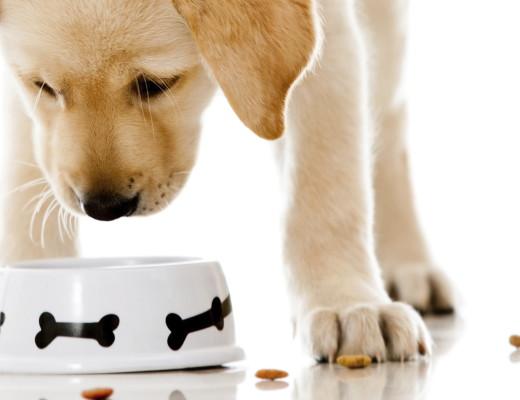 Chihuahua Puppy Wont Eat Dog Food